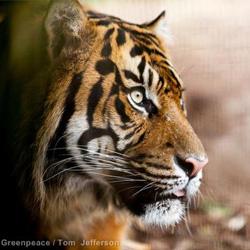 tiger_manifesto_edited-1.jpg