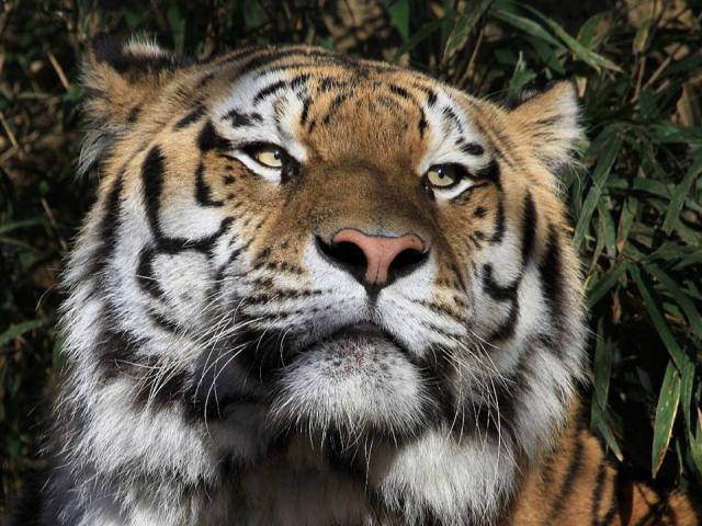 tijgerclose.jpg