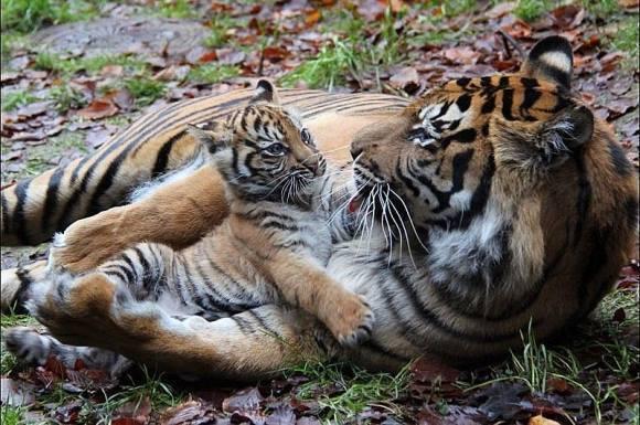 tijgermetkitten.jpg